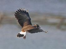 Kiebitz (Vanellus vanellus), Flachsee