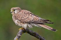 Turmfalke W (Falco tinnunculus), Hortobagy, Ungarn