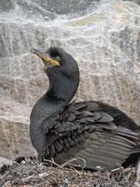 Krähenscharbe (Phalacrocorax aristotelis), Hornoya/Varanger, Norwegen