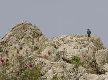 Blaumerle (Monticola solitarius), Ipsilou, Lesbos GR