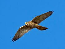 Turmfalke W (Falco tinnunculus), Helgoland DE