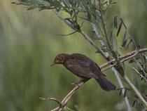 Amsel (Turdus merula) Jungvogel, Petite Camargue Alsacienne, Frankreih