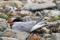 Küstenseeschwalbe (Sterna pardisea), Shetland GB