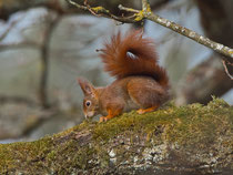 Eichhörnchen (Sciurus vulgaris), Villnachern