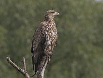 Seeadler (Haliaeetus albicella), Hortobagy, Ungarn