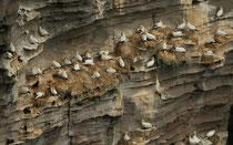 Basstölpel-Kolonie, Noss / Shetland GB