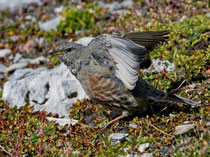 Alpenbraunelle (Prunella collaris), Cassonsgrat bei Flims