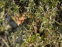 Rotfuchs (Vulpes vulpes), Klingnauer Stausee