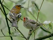 Buchfink (Fringilla coelebs), mit Jungvogel, Rüfenach AG