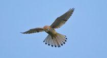 Turmfalke (Falco tinnunculus), Effingen AG