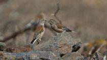 Bluthänfling (Carduelis cannabina) M+W, Fuerteventura