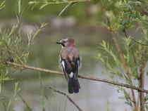 Eichelhäher (Garrulus glanarius), Petite Camargue Alsacienne, Frankreich