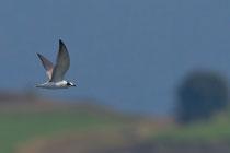 Weissflügel-Seeschwalbe JK (Chlidonias leucopterus), Jona SG