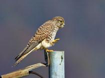 Turmfalke JK (Falco tinnunculus), Augst AG