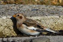 Schneeammer (Plectrophenax nivalis), Helgoland