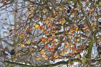Wacholderdrossel (Turdus pilaris), Full AG, plündern einen Apfelbaum im Winter