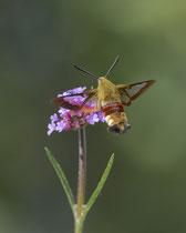 Hummelschwärmer (Hemaris fuciformis), Villnachern