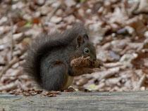 Eichhörnchen schält einen Fichtenzapfen, Villigen