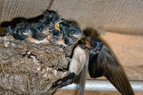 Junge Rauchschwalben im Nest, Villnachern