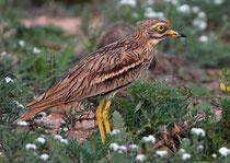 Triel (Burhinus oedicnemus), Massa Nationalpark, Marokko