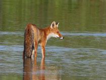 Rotfuchs (Vulpes vulpes), Flachsee