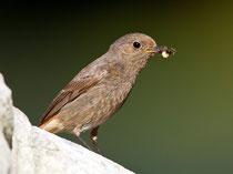 Hausrotschwanz (Phoenicurus ochruros), Weibchen oder junges Männchen, Aarau