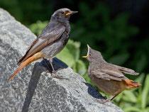 Hausrotschwanz (Phoenicurus ochruros), Männchen mit Jungvogel, Intragna TI