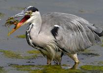Der Graureiher wird im Volksmund oft als Fischreiher bezeichnet, zu unrecht...  (Bild: Klingnauer Stausee)