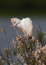 Kuhreiher (Bubulcus ibis), Kolonie bei Mertola, Portugal