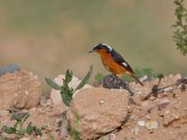 Diademrotschwanz M (Phoenicurus moussieri), Massa, Marokko