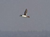 Schellente M fliegend im Schneetreiben, Gippinger Grien