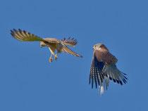 Turmfalke M und W bei Balzflug, (Falco tinnunculus), Villigen AG