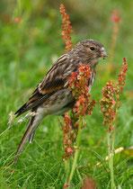Berghänfling (Carduelis flavirostris), Sumburgh, Shetland GB