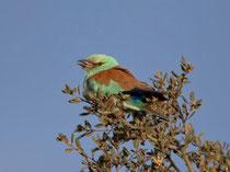 Blauracke (Coracias Garrulus),Castro Verde, Portugal