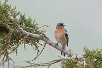 Buchfink (Fringilla coelebs), Ipsilou, Lesbos