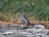 Baumpieper (Anthus trivialis), Mull GB