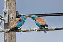 Blauracke (Coracias Garrulus), Nähe Trujillo, Extremadura E