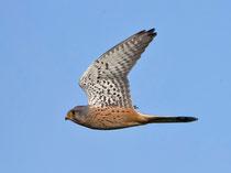 Turmfalke M (Falco tinnunculus), Hellikon AG