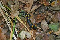 Feuersalamander (Salamandra salamandra), Villnachern