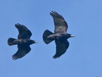 Saatkrähe (Corvus frugilegus), Augst
