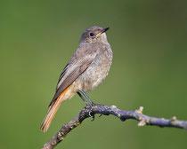 Hausrotschwanz, fast adulter Jungvogel, Schinznach