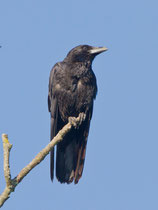 Rabenkrähe (Corvus corone), Flachsee