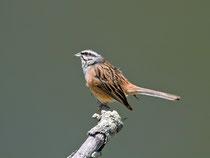 Zippammer (Emberica cia), Monfragüe Nationalpark, Extremadura