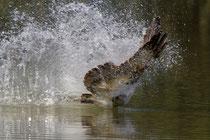 Fischadler (Pandion haliaetus), Petite Camargue Alsacienne F
