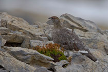 Alpenschneehuhn (Lagopus muta) im Sommerkleid, Cassonsgrat / Flims