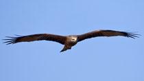 Schwarzmilan (Milvus migrans), El Rocio, Spanien