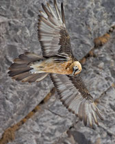 Bartgeier (Gypaetus barbatus), Gemmipass (Leukerbad) VS
