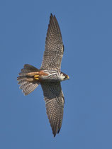 Baumfalke (Falco subbuteo), Stille Reuss, Rottenschwil