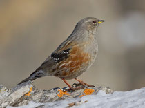 Alpenbraunelle (Prunella collaris), Gemmi (Leukerbad) VS