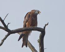 Rotmilan (Milvus milvus), Limmatspitz